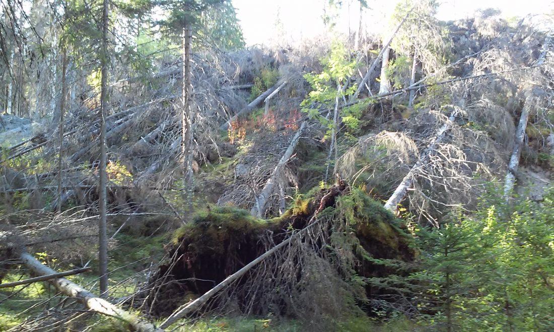 Kuvia Ruokolahden hyönteistuhoalueelta, jossa kaarnakuoriaiset ovat saaneet rauhassa lisääntyä Asta- ja Veera-myrskyjen jäljitä jääneissä rauhoitetuissa myrskytuhometsissä.